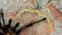 Une tarentule face à un scorpion : combat de titans
