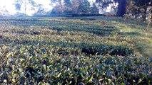 Places to visit in Darjeeling Tea Garden- Darjeeling Tourism Tea Garden .चाय बागान दार्जीलिंग चाय बागान दार्जीलिंग पश्चिम बंगाल भारत