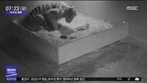 [이 시각 세계] 희귀종 수마트라 호랑이 탄생 순간 공개