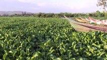 La jacinthe d'eau, fléau qui ronge le coeur bleu de l'Afrique