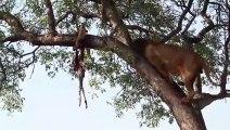 Si vous croisez un lion, ne grimpez pas aux arbres, ça ne sert à rien