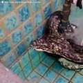 Ce pauvre python est couvert de tiques parasites