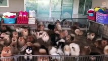 ???? Mini Pomeranian - Funny and Cute Pomeranian Videos #3 - CuteVN