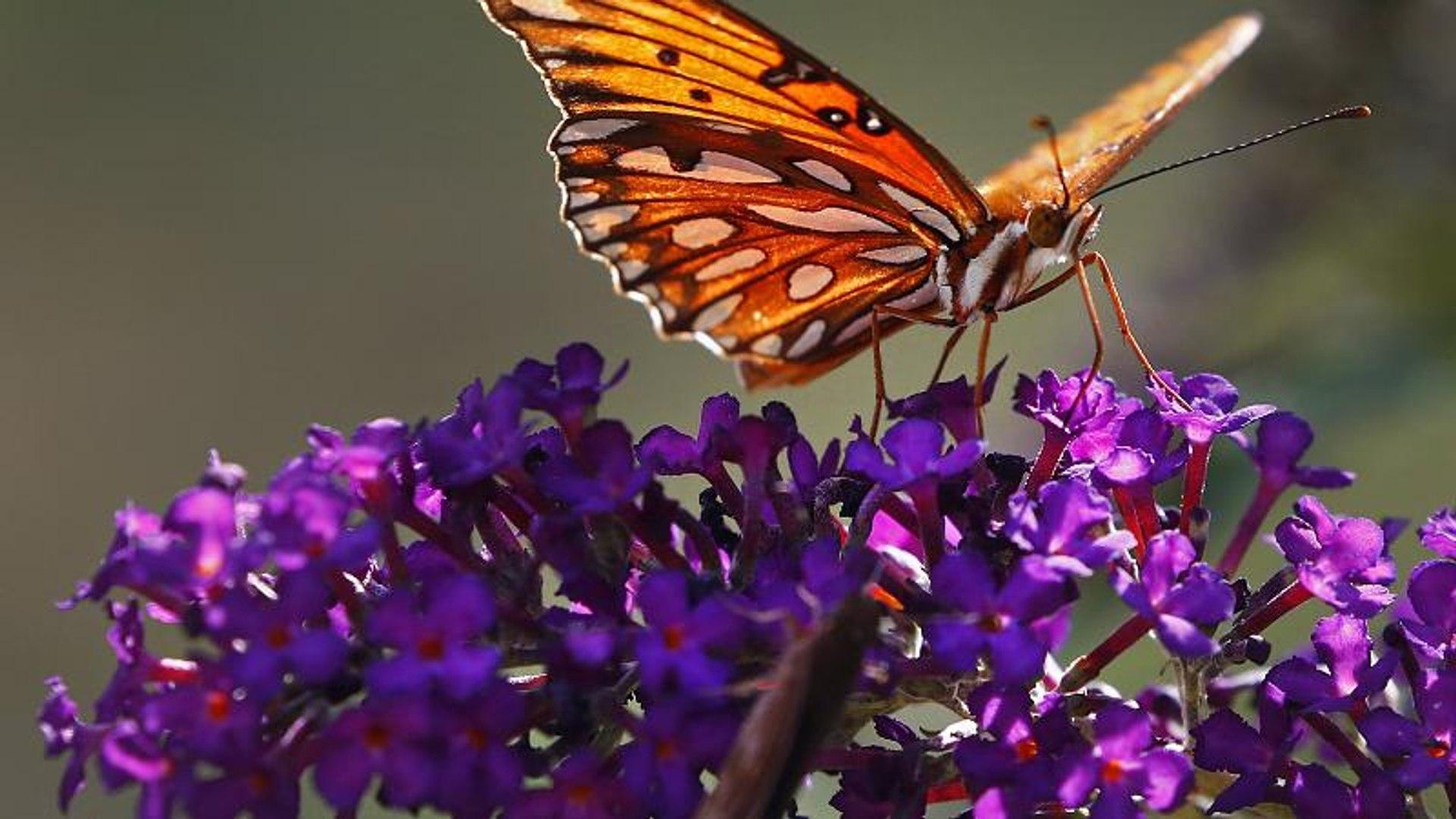 Наши потомки могут не увидеть бабочек