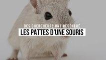 Des chercheurs ont régénéré les pattes d'une souris