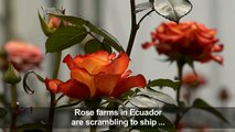 Workers in Ecuador prepare roses for export for Valentine's Day