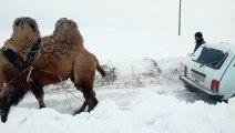 Quand un chameau sert de remorque pour la voiture