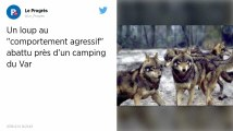 Var. Un loup «agressif» abattu dans le centre-ville de Bormes-les-Mimosas
