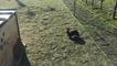 Immersion dans un élevage de lapin chèvre
