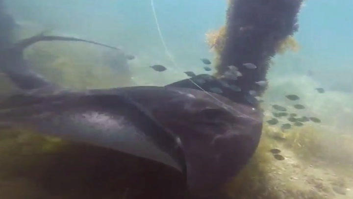 Divers Save Rays Stuck With Fishing Hooks