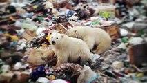 """Invasion d'ours polaires en Russie : """"Une ingérence humaine dans un territoire qui devrait être dédié aux ours"""", selon un chercheur"""