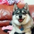 Cet adorable chien littéralement chante avec son propriétaire