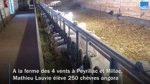 Reportage_chez_un_producteur_de_laine angora en Dordogne