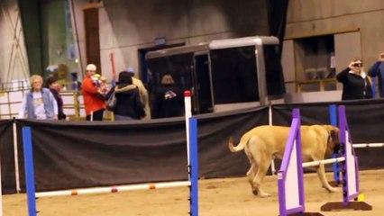 Vidéo drôle d'un chien lors d'un parcours d'agilité