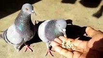 pigeons eats  food from hand. pigeons noirs mangent la nourriture de la main.