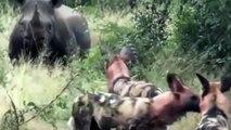 Rinoceronte Vs Cães Selvagens Ou Jogo Do Gato E Do Rato