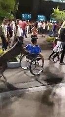 Mexique : un chien promène un homme en fauteuil roulant