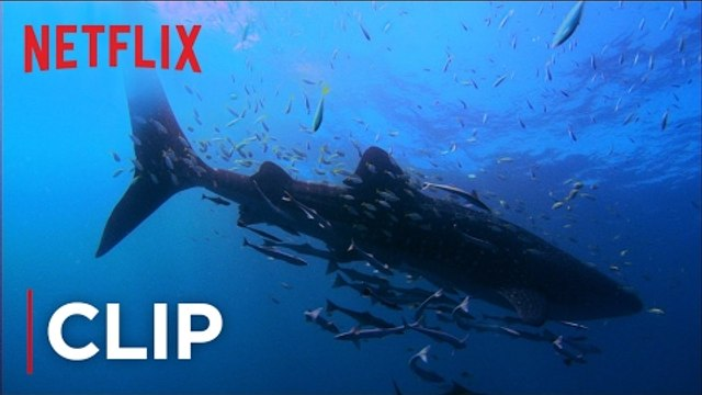 Mission Blue | Clip - Swimming with Whale sharks [HD] | Netflix
