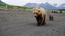 Ces russes tombent sur un énorme ours et son petit... Terrifiant