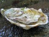 L'huître triploïde