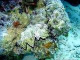 L'huître zigzag, la Dendostrea Folium