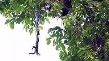 Un cobra royal capture un gros lézard par la queue et le remonte dans son arbre