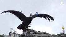 Ces deux condors des Andes ont repris leur envol… après avoir été probablement intoxiqués par des éleveurs