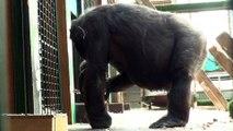 Gypsy premier bébé gorille né depuis dix ans au parc zoologique de Saint-Martin-la-Plaine (Loire)