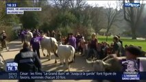 Ces images insolites de bovins et de moutons traversant les Buttes-Chaumont à Paris
