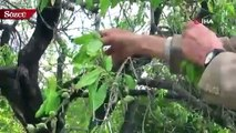 Yılın ilk hasadı çağlalar 100 liradan alıcı buluyor