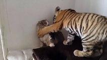 Un bébé tigre joue avec un chat... Amitié adorable et petits coups de griffe