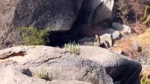 Leopards fight it out, fall off huge rock in Rajasthan desert