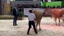 Salon de l'agriculture 2019 : une vache franc-comtoise participe au concours général agricole de la race Simmental