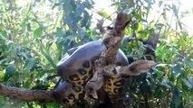 Cet explorateur trouve un anaconda géant dans un arbre... Impressionnant