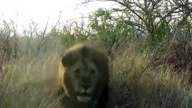 Quand un Lion charge une voiture au parc Krueger en Afrique du Sud