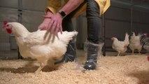 Sciences - Des petits poulets devenus grands !