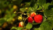 03 - Les fraisiers de Lavaltrie, développés au Canada et vendus à l'étranger