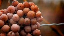 19 - Le vin de glace de la péninsule du Niagara, le produit canadien le plus prisé sur le marché international du vin