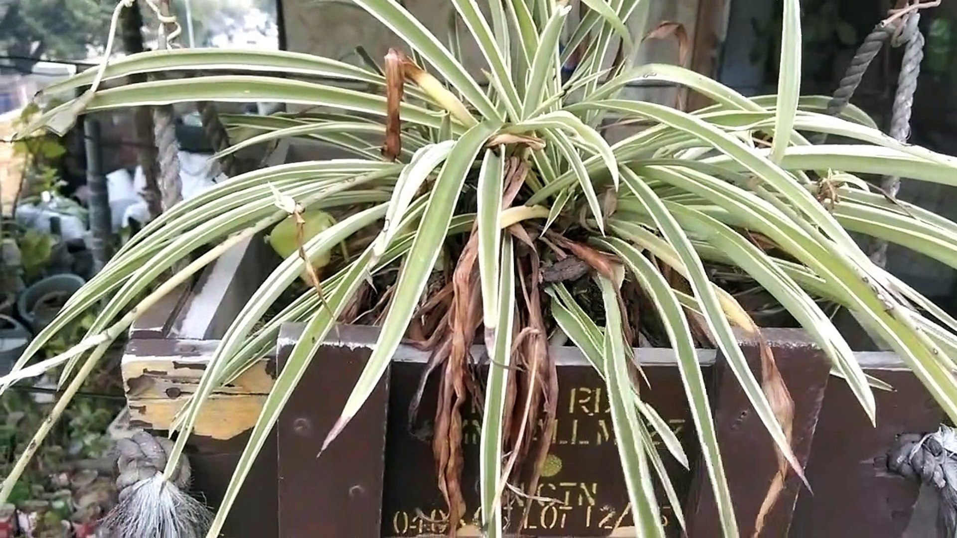 How to Grow and Care Spider Plant | Spider Plant ko as a hanging plant kaisay grow krain  |