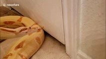Huge snake tries to squeeze into small crack under door but cant fit