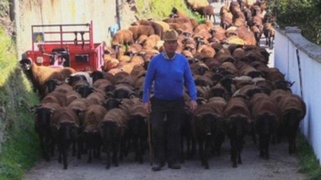 """El cardo, las manos y el pastoreo, los secretos del queso """"Serra da Estrela"""""""