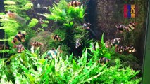 B37- Sumatra Barb, Malabar Danio, Ceylonese Comb Tail, Redtail Shark Minnow, Denison´s Barb, Striped Panchax, Java Fern, Pearl Gourami, Indian Marsh Weed,