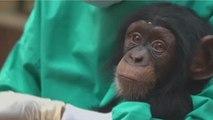 """Sierra Leone : le chimpanzé désormais """"animal national"""""""