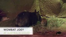 Wombat Joey Emerges from Pouch