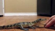 Ce bébé crocodile n'aime pas les calins... Attention les doigts