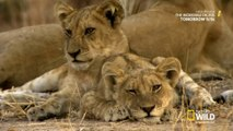 LION KINGDOM - S01E03 || Blood Rivals - Nat Geo WILD