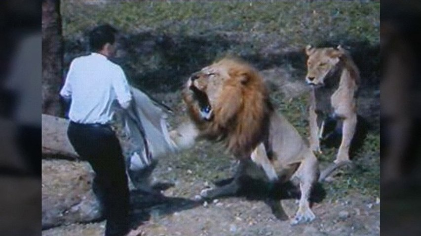 Lion trying to attack man