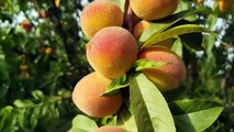 A visit to the peach orchard in Punjab, Peach tree spacing guide, peach garden diseases and care