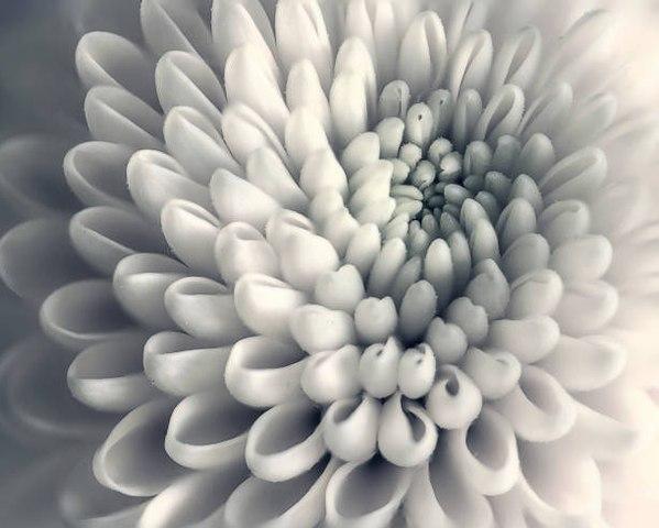 Chrysanthème : la signification