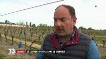 Cognac : de lourdes pertes dans le vignoble